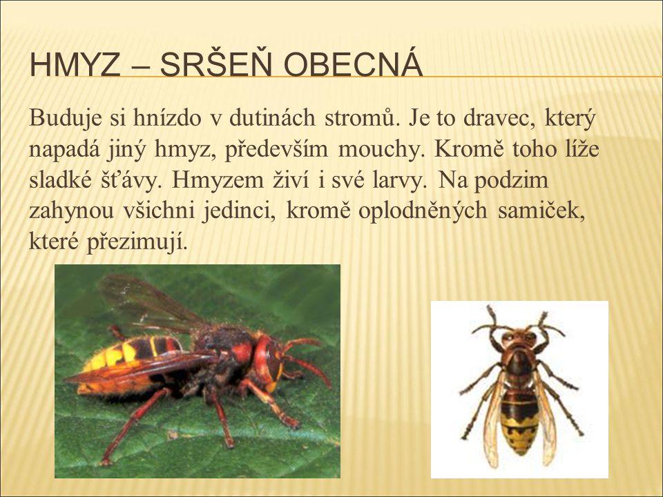 HMYZ – SRŠEŇ OBECNÁ Buduje si hnízdo v dutinách stromů. Je to dravec, který napadá jiný hmyz, především mouchy. Kromě toho líže sladké šťávy. Hmyzem ž