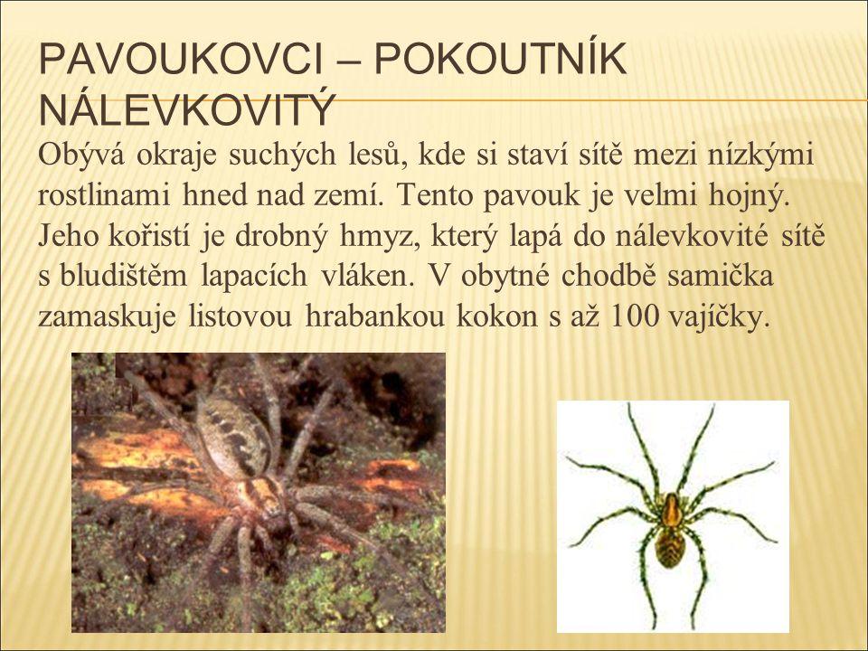 PAVOUKOVCI – POKOUTNÍK NÁLEVKOVITÝ Obývá okraje suchých lesů, kde si staví sítě mezi nízkými rostlinami hned nad zemí. Tento pavouk je velmi hojný. Je