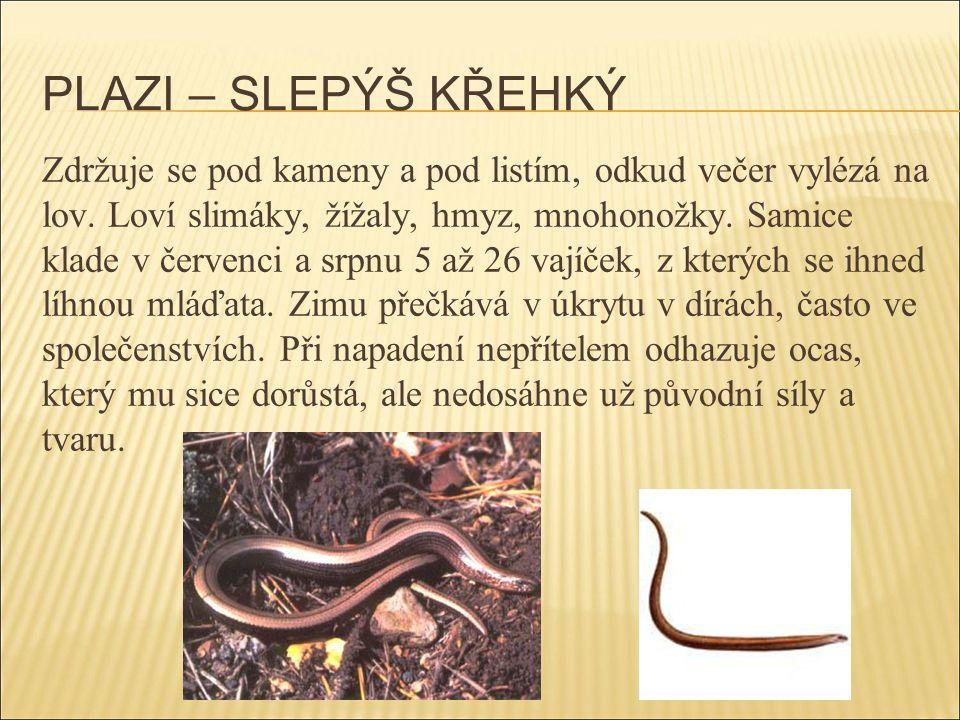 PLAZI – UŽOVKA HLADKÁ Loví především ještěrky, vzácně mláďata drobných ptáků, savců nebo jiných hadů.