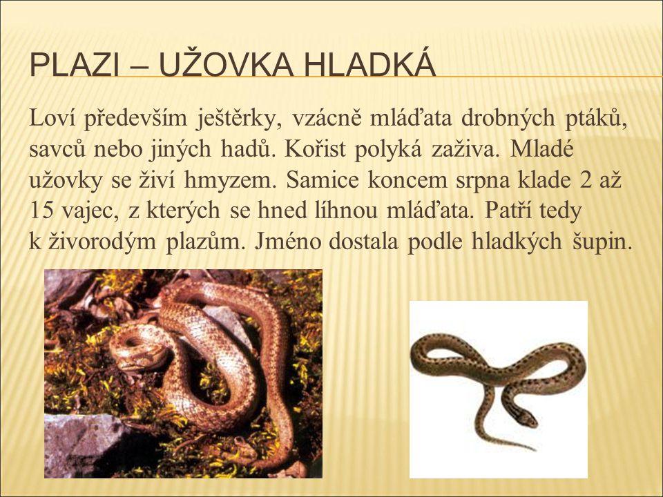 PLAZI – UŽOVKA HLADKÁ Loví především ještěrky, vzácně mláďata drobných ptáků, savců nebo jiných hadů. Kořist polyká zaživa. Mladé užovky se živí hmyze