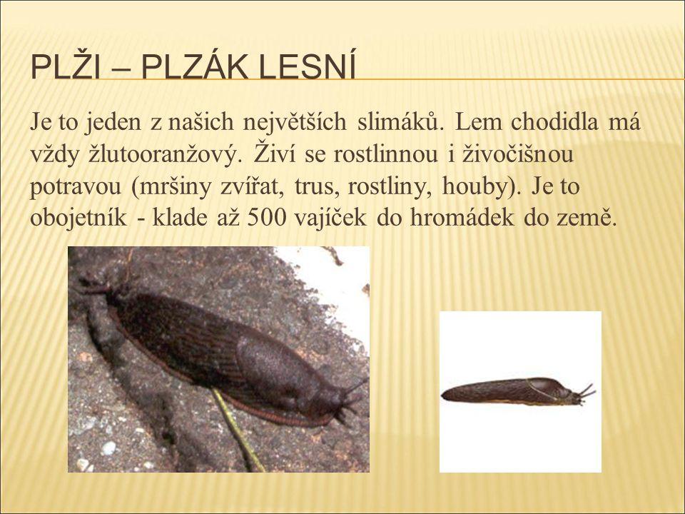PLŽI – PLZÁK LESNÍ Je to jeden z našich největších slimáků. Lem chodidla má vždy žlutooranžový. Živí se rostlinnou i živočišnou potravou (mršiny zvířa