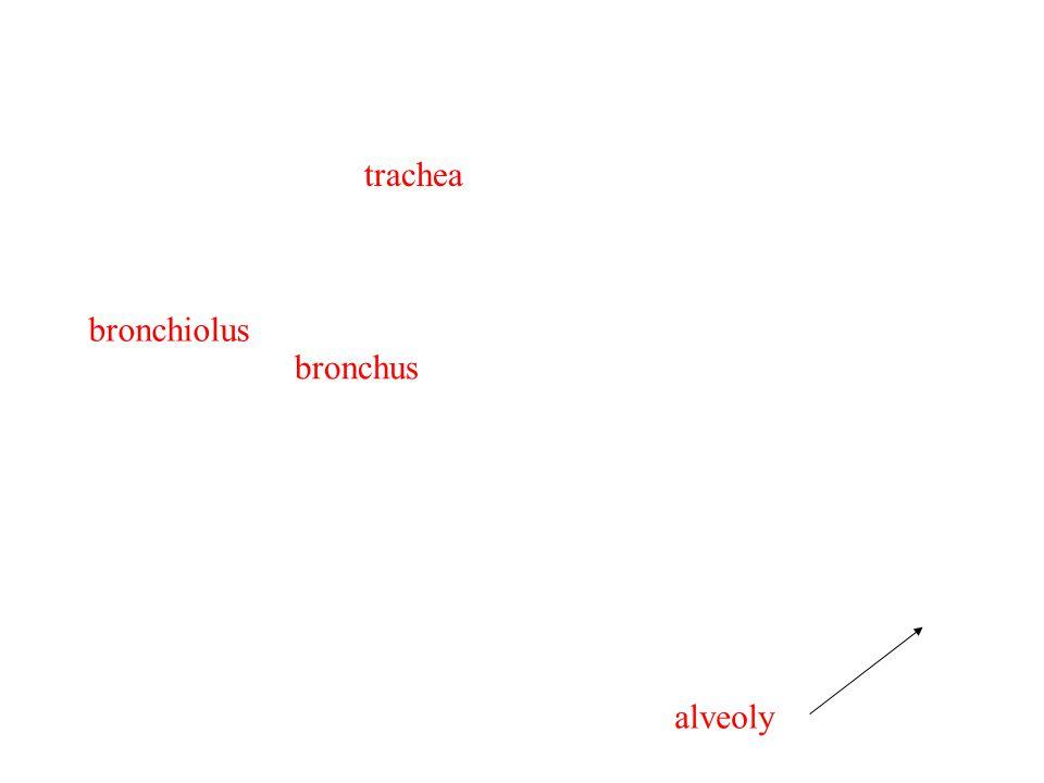 trachea bronchus bronchiolus alveoly