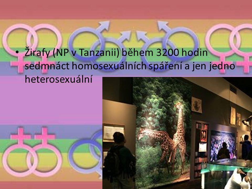 Žirafy (NP v Tanzanii) během 3200 hodin sedmnáct homosexuálních spáření a jen jedno heterosexuální