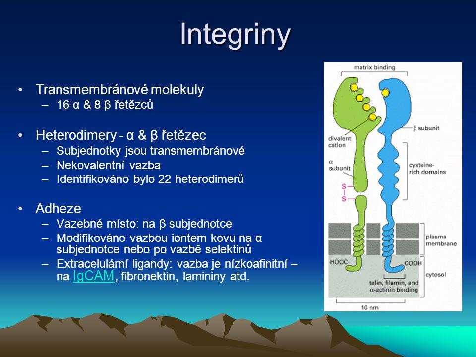 """Integriny (pokračování) –Intracelulární receptory integrinů: Stavební buněčné proteiny a proteiny cytoskeletu (vinkulin, aktinové mikrofilamenty) Signální proteiny –Vazba extracelulárních receptorů integrinů vyvolává: """"Clustering receptorů a aktivaci buněk – Chybějící možnost vazby integrinů na další molekuly může způsobit apoptózu buňky"""