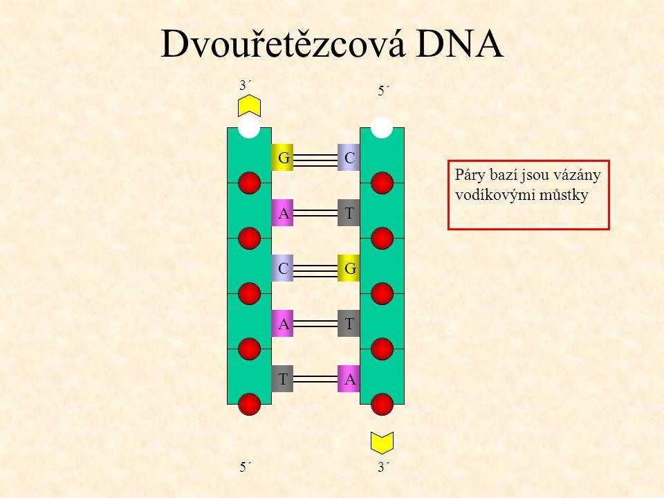 Dvouřetězcová DNA TAAT 5´ 3´ Páry bazí jsou vázány vodíkovými můstky CA G GT C