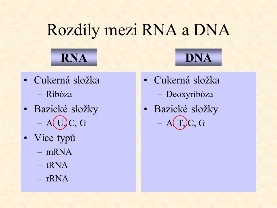 Rozdíly mezi RNA a DNA Cukerná složka –Ribóza Bazické složky –A, U, C, G Více typů –mRNA –tRNA –rRNA Cukerná složka –Deoxyribóza Bazické složky –A, T,