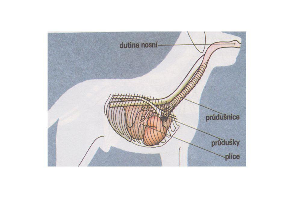 SOUSTAVA DÝCHACÍ  Na počátku hrtanu je záklopka, která ho při polykání uzavírá a brání vniknutí potravy do dýchacích cest  Součástí hrtanu jsou hlasivky  Průdušnice je trubice zpevněná chrupavčitými prstenci  Na konci se větví ve dvě průdušky – ty vstupují do pravé a levé plíce