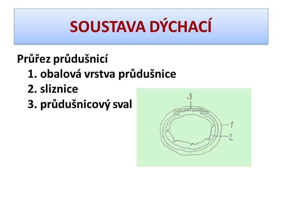 SOUSTAVA DÝCHACÍ Průřez průdušnicí 1. obalová vrstva průdušnice 2. sliznice 3. průdušnicový sval