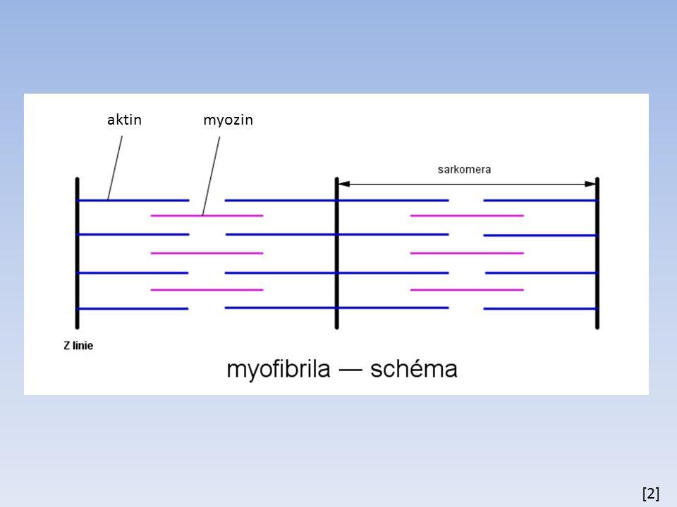 průběh svalového stahu nervový vzruch depolarizace svalového vlákna uvolnění Ca 2+ iontů z endoplazmatického (sarkoplazmatického) retikula rozkládá se ATP uvolňuje se energie dochází ke kontrakci (aktinová vlákna a myozinová se do sebe zasouvají)