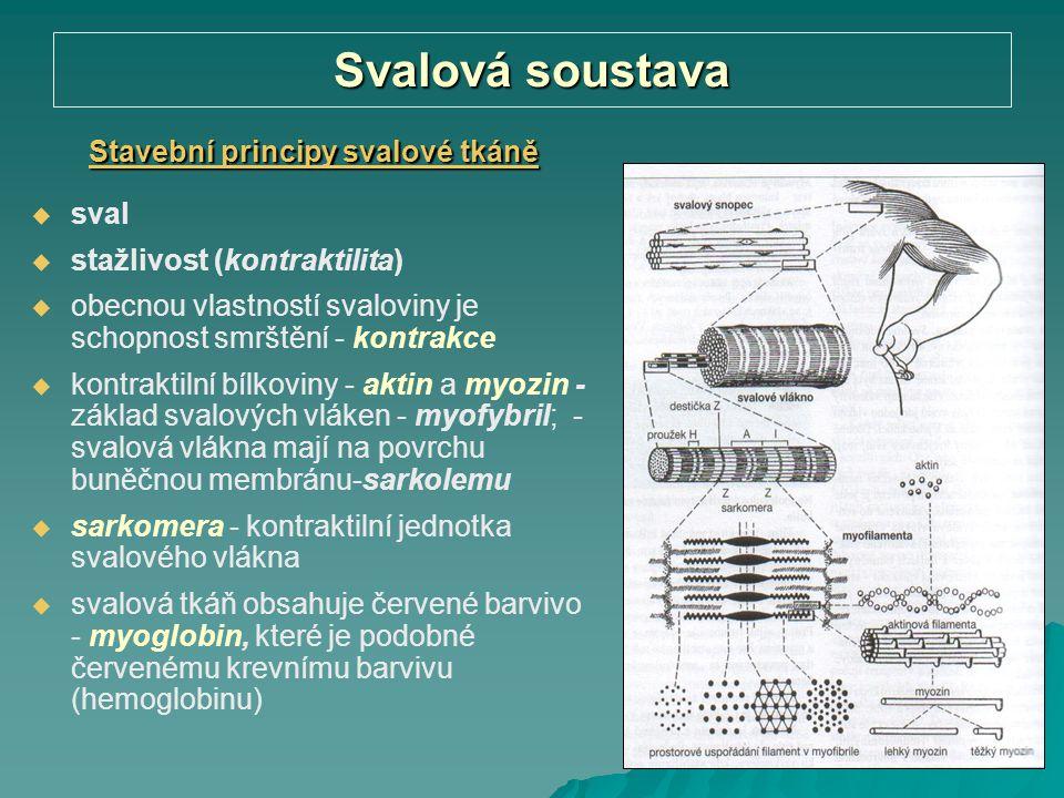 Svalová soustava Stavební principy svalové tkáně   sval   stažlivost (kontraktilita)   obecnou vlastností svaloviny je schopnost smrštění - kont