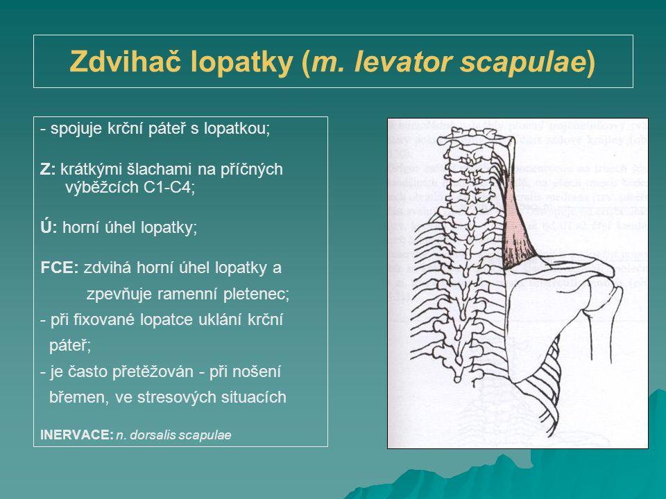 Zdvihač lopatky (m. levator scapulae) - spojuje krční páteř s lopatkou; Z: krátkými šlachami na příčných výběžcích C1-C4; Ú: horní úhel lopatky; FCE: