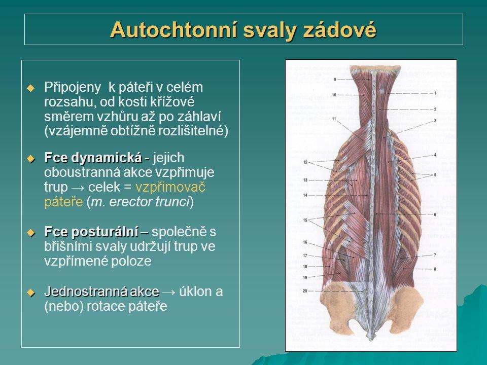 Autochtonní svaly zádové   Připojeny k páteři v celém rozsahu, od kosti křížové směrem vzhůru až po záhlaví (vzájemně obtížně rozlišitelné)  Fce dy