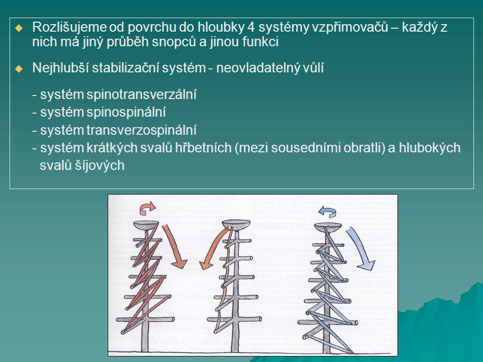   Rozlišujeme od povrchu do hloubky 4 systémy vzpřimovačů – každý z nich má jiný průběh snopců a jinou funkci   Nejhlubší stabilizační systém - ne