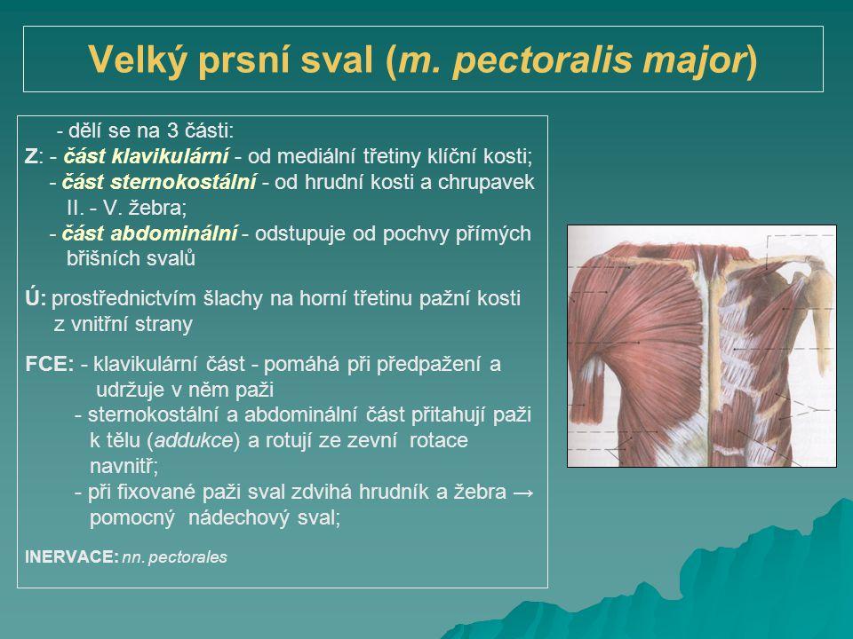 Velký prsní sval (m. pectoralis major) - dělí se na 3 části: Z: - část klavikulární - od mediální třetiny klíční kosti; - část sternokostální - od hru