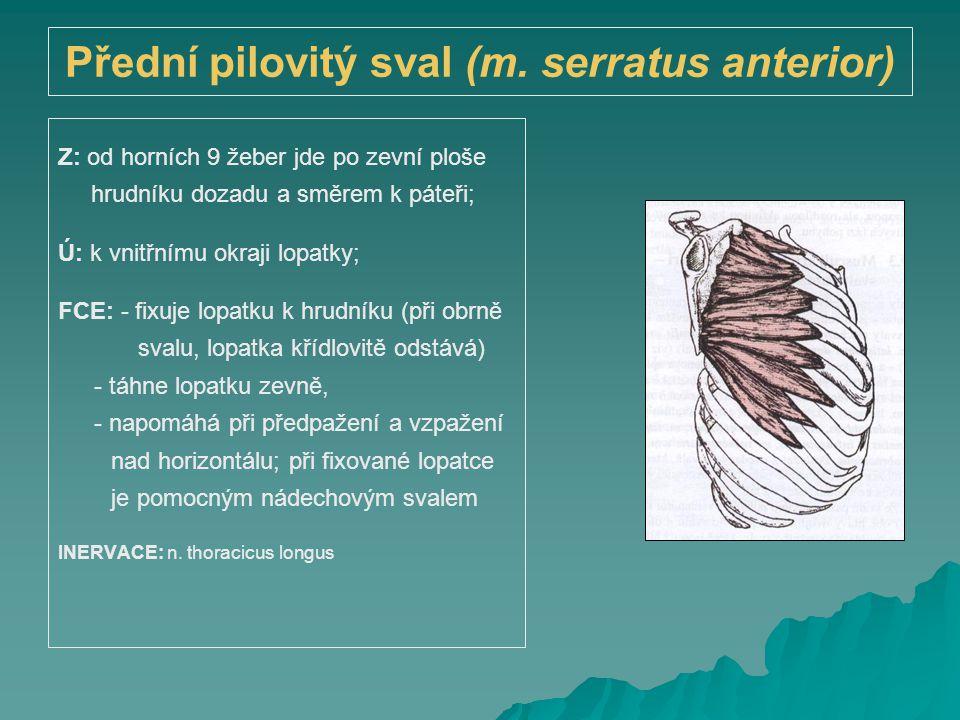 Přední pilovitý sval (m. serratus anterior) Z: od horních 9 žeber jde po zevní ploše hrudníku dozadu a směrem k páteři; Ú: k vnitřnímu okraji lopatky;