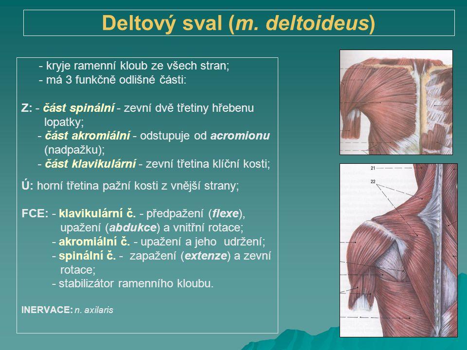 Deltový sval (m. deltoideus) - kryje ramenní kloub ze všech stran; - má 3 funkčně odlišné části: Z: - část spinální - zevní dvě třetiny hřebenu lopatk