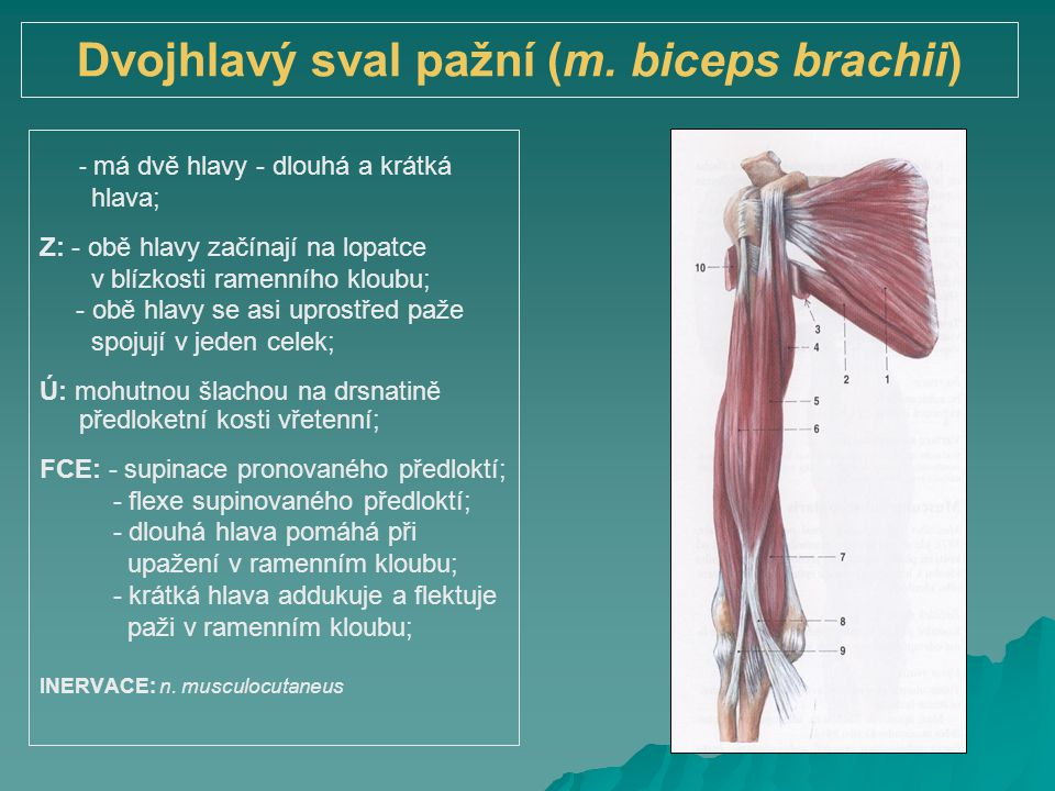 Dvojhlavý sval pažní (m. biceps brachii) - má dvě hlavy - dlouhá a krátká hlava; Z: - obě hlavy začínají na lopatce v blízkosti ramenního kloubu; - ob