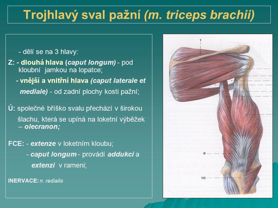 Trojhlavý sval pažní (m. triceps brachii) - dělí se na 3 hlavy: Z: - dlouhá hlava (caput longum) - pod kloubní jamkou na lopatce; - vnější a vnitřní h
