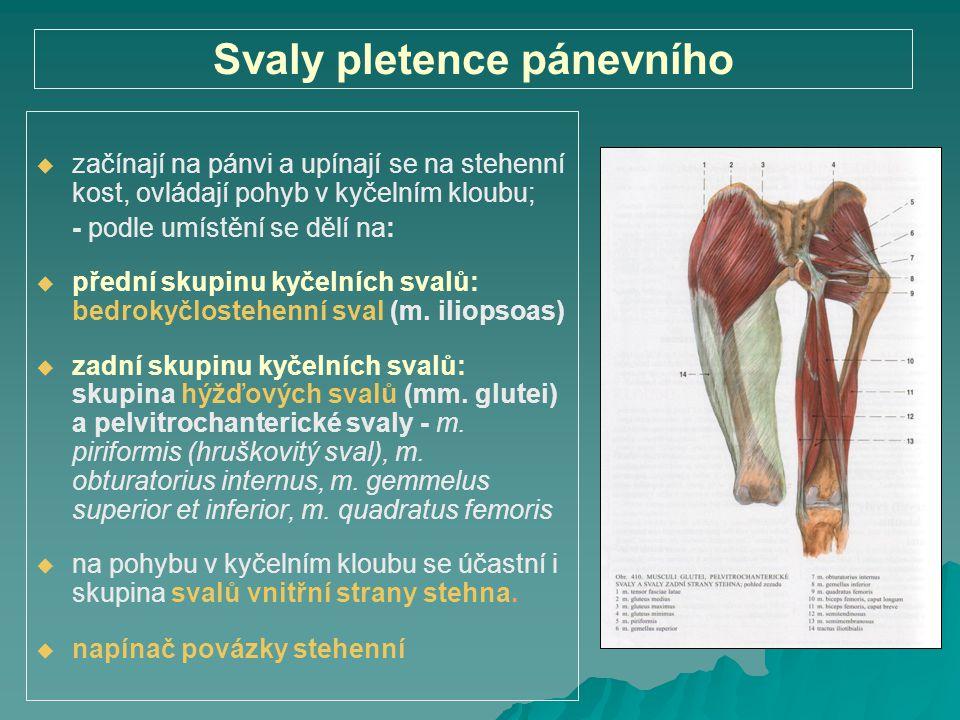 Svaly pletence pánevního   začínají na pánvi a upínají se na stehenní kost, ovládají pohyb v kyčelním kloubu; - podle umístění se dělí na:   předn