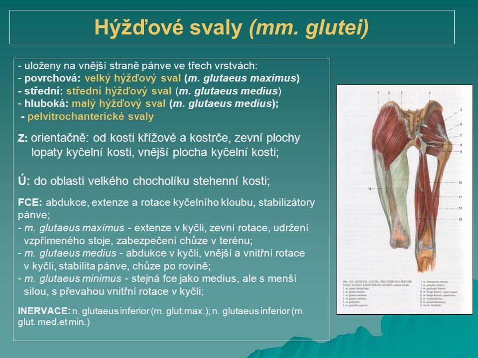 Hýžďové svaly (mm. glutei) - uloženy na vnější straně pánve ve třech vrstvách: - povrchová: velký hýžďový sval (m. glutaeus maximus) - střední: středn