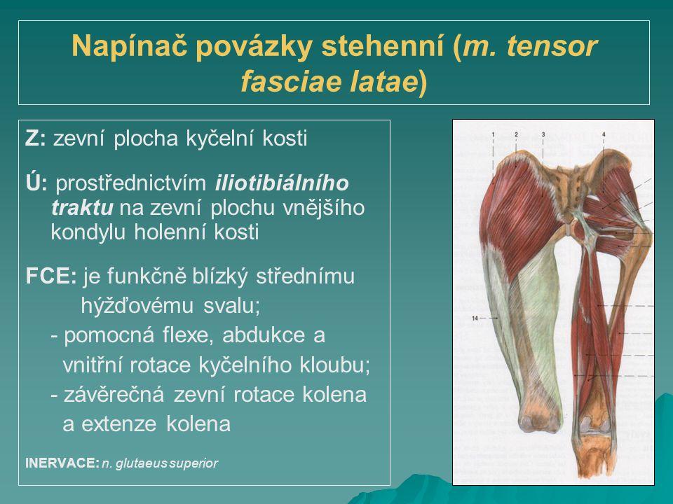 Napínač povázky stehenní (m. tensor fasciae latae) Z: zevní plocha kyčelní kosti Ú: prostřednictvím iliotibiálního traktu na zevní plochu vnějšího kon