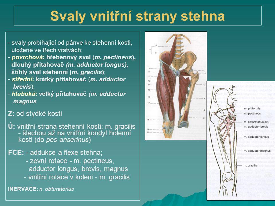 Svaly vnitřní strany stehna - svaly probíhající od pánve ke stehenní kosti, uložené ve třech vrstvách: - povrchová: hřebenový sval (m. pectineus), dlo