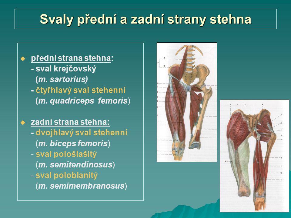 Svaly přední a zadní strany stehna   přední strana stehna: - sval krejčovský (m. sartorius) - čtyřhlavý sval stehenní (m. quadriceps femoris)   za