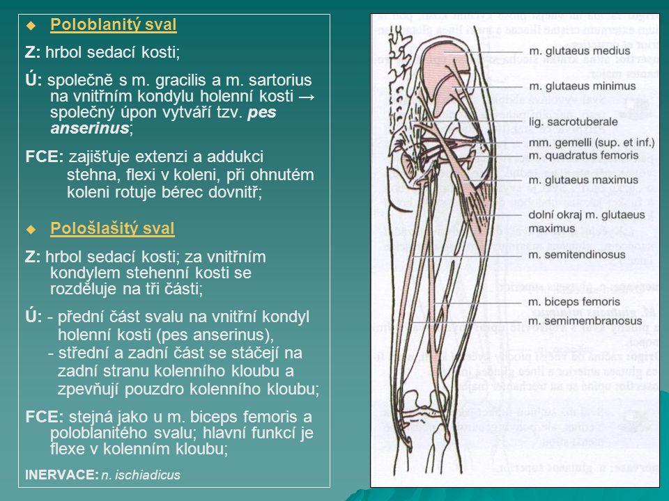   Poloblanitý sval Z: hrbol sedací kosti; Ú: společně s m. gracilis a m. sartorius na vnitřním kondylu holenní kosti → společný úpon vytváří tzv. pe