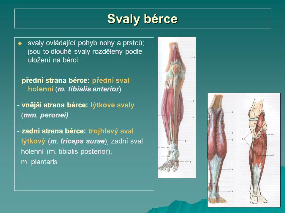 Svaly bérce   svaly ovládající pohyb nohy a prstců; jsou to dlouhé svaly rozděleny podle uložení na bérci: - přední strana bérce: přední sval holenn