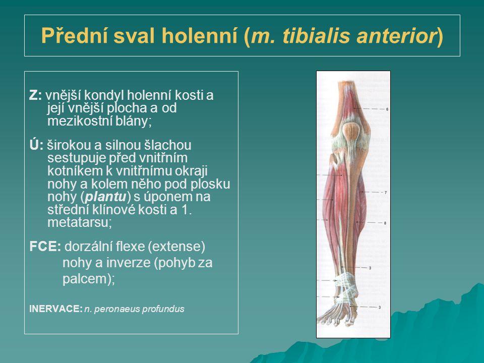 Přední sval holenní (m. tibialis anterior) Z: vnější kondyl holenní kosti a její vnější plocha a od mezikostní blány; Ú: širokou a silnou šlachou sest