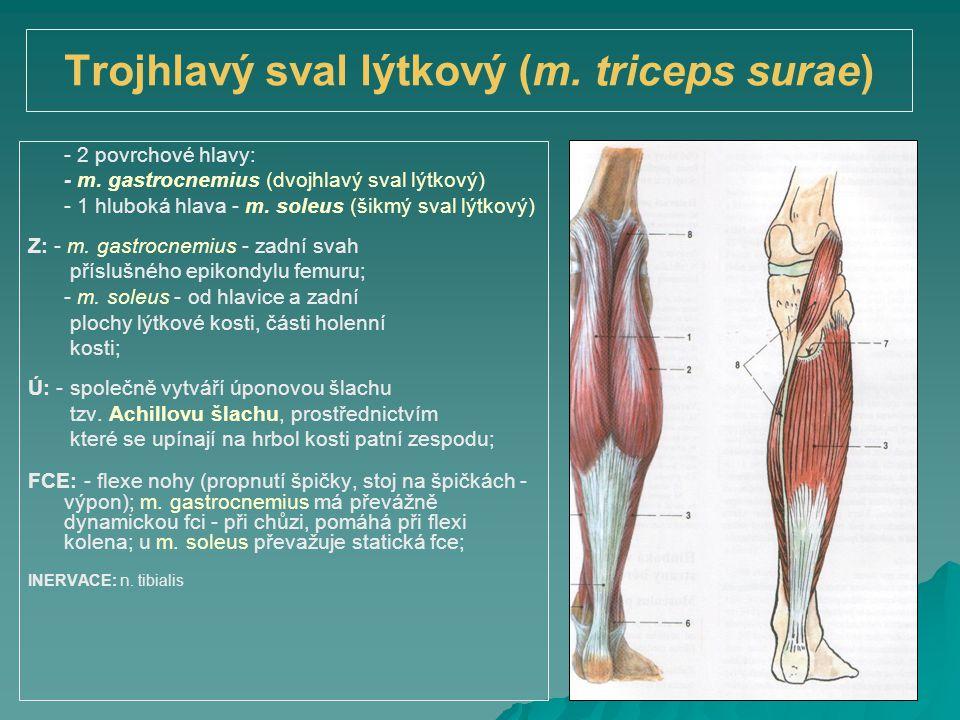 Trojhlavý sval lýtkový (m. triceps surae) - 2 povrchové hlavy: - m. gastrocnemius (dvojhlavý sval lýtkový) - 1 hluboká hlava - m. soleus (šikmý sval l