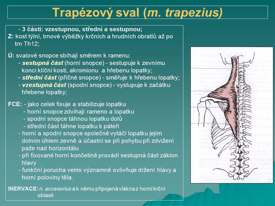 Trapézový sval (m. trapezius) - 3 části: vzestupnou, střední a sestupnou; Z: kost týlní, trnové výběžky krčních a hrudních obratlů až po trn Th12; Ú: