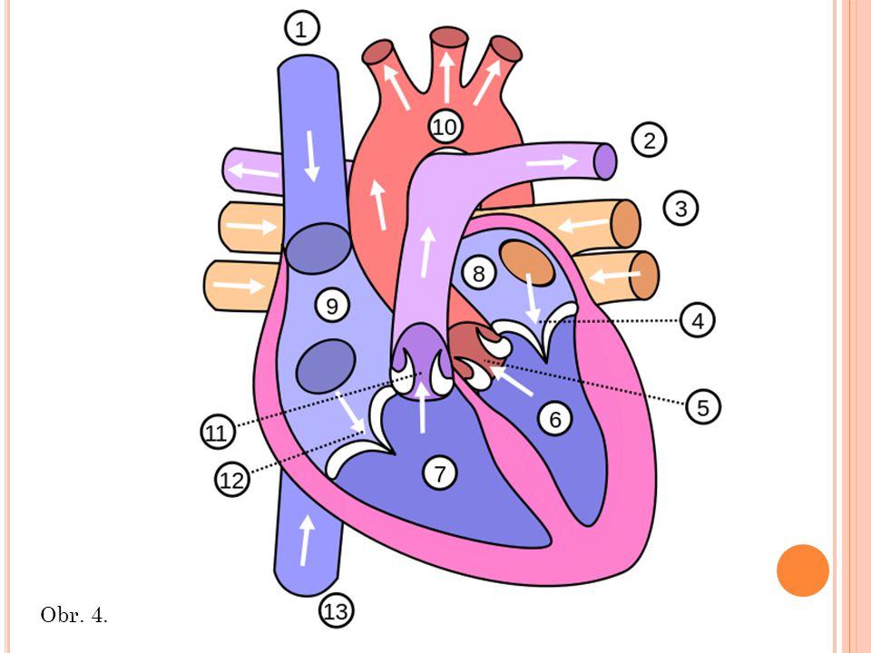 Pravá síň z žilného splavu krev odtéká do pravé síně (9) pravá síň je oddělena od pravé komory síňokomorovou přepážkou, ve které je otvor opatřený trojcípou chlopní (12) trojcípá chlopeň střeží vstup do pravé komory a zajišťuje, aby se při stahu (systole) krev z komory nemohla vracet zpět do síně neokysličená krev se při diastole dostává přes trojcípou chlopeň do pravé komory