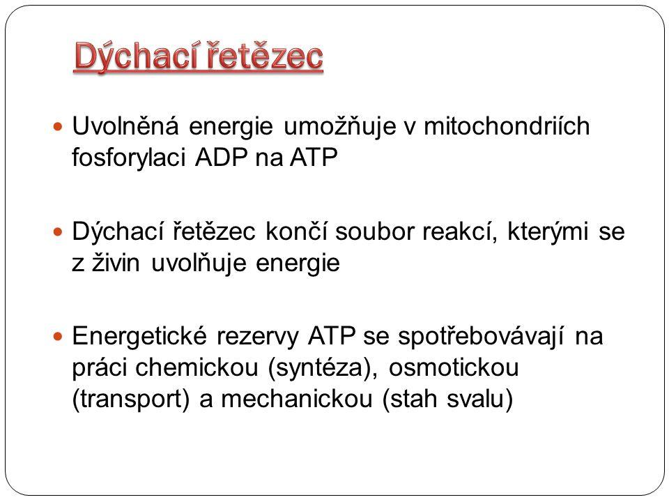 Uvolněná energie umožňuje v mitochondriích fosforylaci ADP na ATP Dýchací řetězec končí soubor reakcí, kterými se z živin uvolňuje energie Energetické