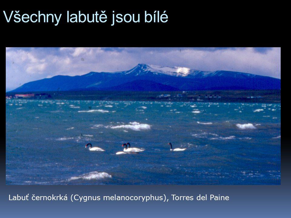 Všechny labutě jsou bílé Labuť černokrká (Cygnus melanocoryphus), Torres del Paine