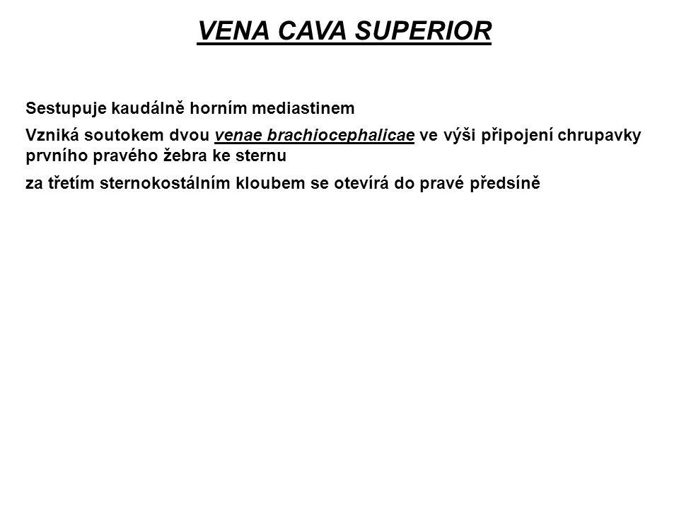 Sestupuje kaudálně horním mediastinem VENA CAVA SUPERIOR Vzniká soutokem dvou venae brachiocephalicae ve výši připojení chrupavky prvního pravého žebr