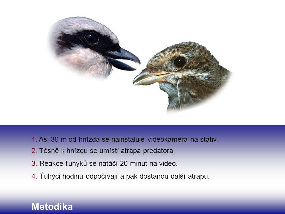 1. Asi 30 m od hnízda se nainstaluje videokamera na stativ. 2. Těsně k hnízdu se umístí atrapa predátora. 3. Reakce ťuhýků se natáčí 20 minut na video