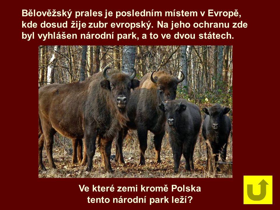 Bělověžský prales je posledním místem v Evropě, kde dosud žije zubr evropský. Na jeho ochranu zde byl vyhlášen národní park, a to ve dvou státech. Ve