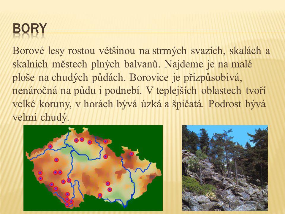 Borové lesy rostou většinou na strmých svazích, skalách a skalních městech plných balvanů. Najdeme je na malé ploše na chudých půdách. Borovice je při