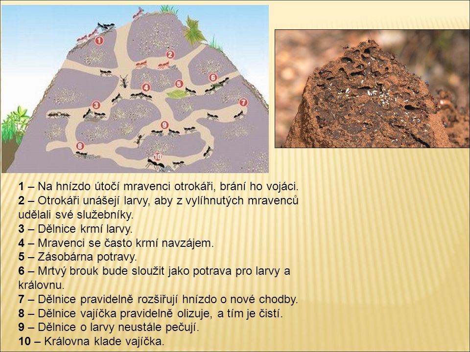1 – Na hnízdo útočí mravenci otrokáři, brání ho vojáci. 2 – Otrokáři unášejí larvy, aby z vylíhnutých mravenců udělali své služebníky. 3 – Dělnice krm