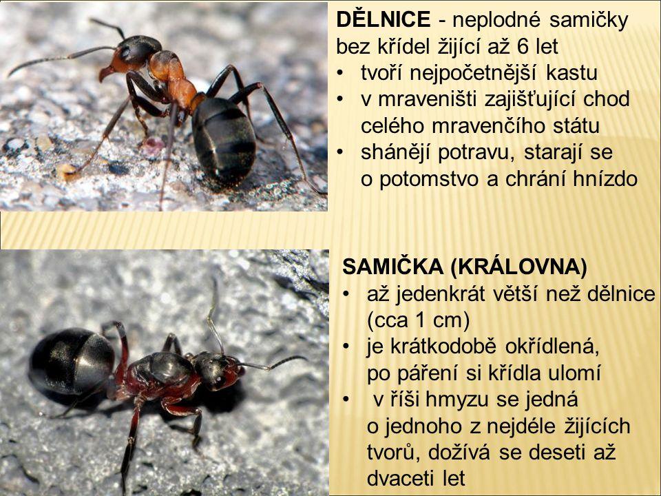 DĚLNICE - neplodné samičky bez křídel žijící až 6 let tvoří nejpočetnější kastu v mraveništi zajišťující chod celého mravenčího státu shánějí potravu, starají se o potomstvo a chrání hnízdo SAMIČKA (KRÁLOVNA) až jedenkrát větší než dělnice (cca 1 cm) je krátkodobě okřídlená, po páření si křídla ulomí v říši hmyzu se jedná o jednoho z nejdéle žijících tvorů, dožívá se deseti až dvaceti let