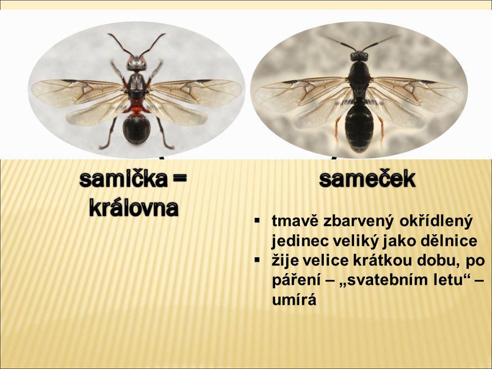 Hmyz v lese Hmyz tělo: hlava, hruď a zadeček hlava: složené oči, 1 pár tykadel, ústní ústrojí hruď: 3 páry nohou, obvykle 2 páry křídel vývin nepřímý: A) proměna nedokonalá: vajíčko  nymfa podobná dospělci  dospělec (např.