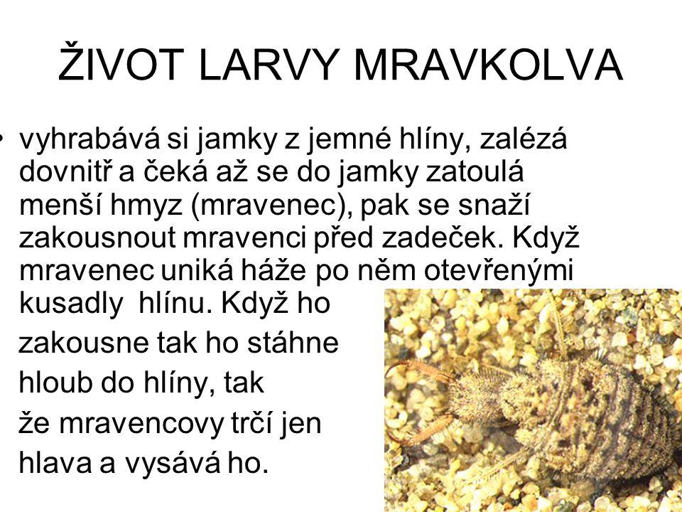 ŽIVOT LARVY MRAVKOLVA vyhrabává si jamky z jemné hlíny, zalézá dovnitř a čeká až se do jamky zatoulá menší hmyz (mravenec), pak se snaží zakousnout mr