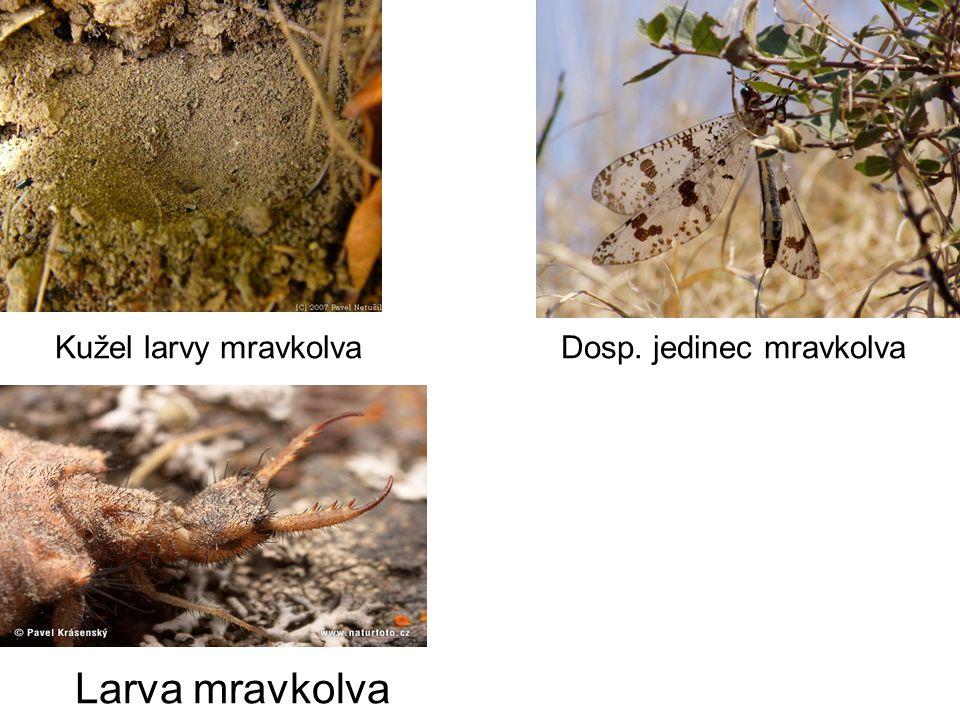 Kužel larvy mravkolva Dosp. jedinec mravkolva Larva mravkolva