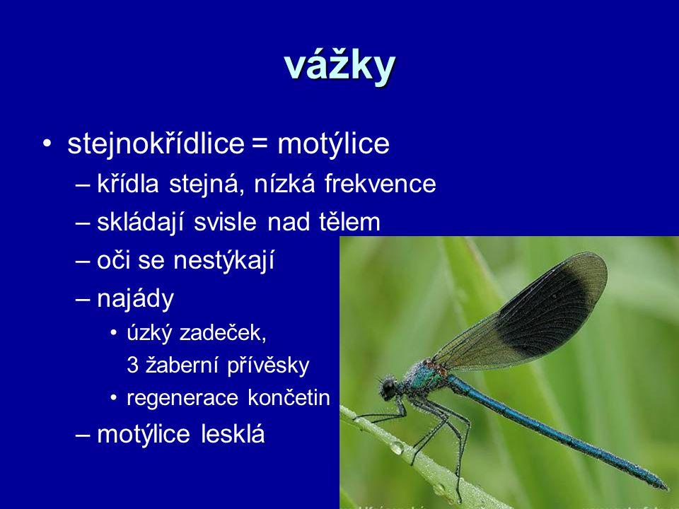vážky stejnokřídlice = motýlice –křídla stejná, nízká frekvence –skládají svisle nad tělem –oči se nestýkají –najády úzký zadeček, 3 žaberní přívěsky