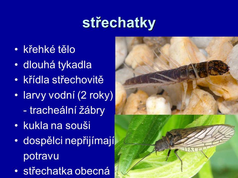 střechatky křehké tělo dlouhá tykadla křídla střechovitě larvy vodní (2 roky) - tracheální žábry kukla na souši dospělci nepřijímají potravu střechatk