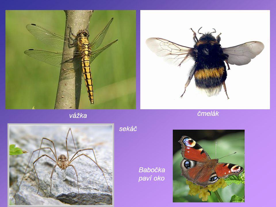 Části těla hmyzu hruď zadeček tykadla Mravenec Hmyz dýchá vzdušnicemi. vzdušnice hlava