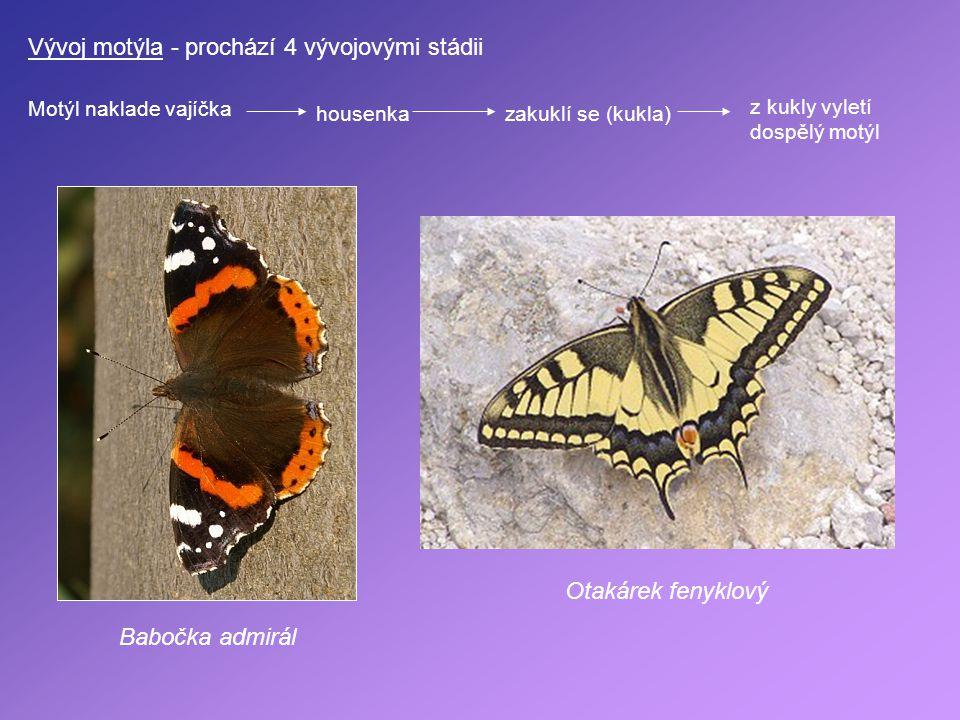 Vývoj motýla - prochází 4 vývojovými stádii Motýl naklade vajíčka housenkazakuklí se (kukla) z kukly vyletí dospělý motýl Otakárek fenyklový Babočka a