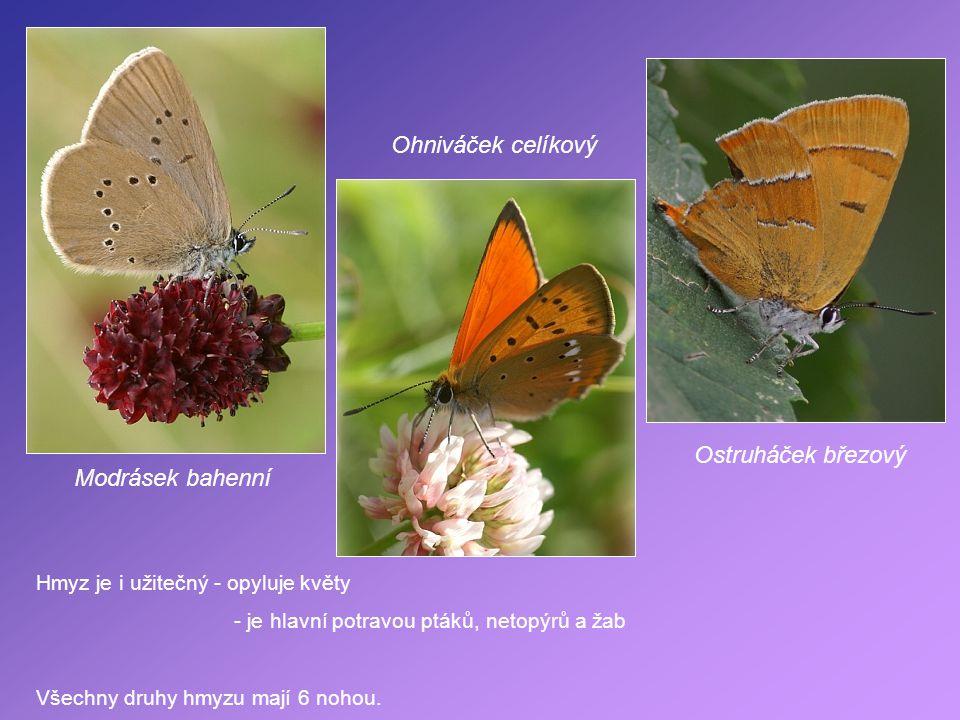 Modrásek bahenní Ohniváček celíkový Ostruháček březový Hmyz je i užitečný - opyluje květy - je hlavní potravou ptáků, netopýrů a žab Všechny druhy hmy