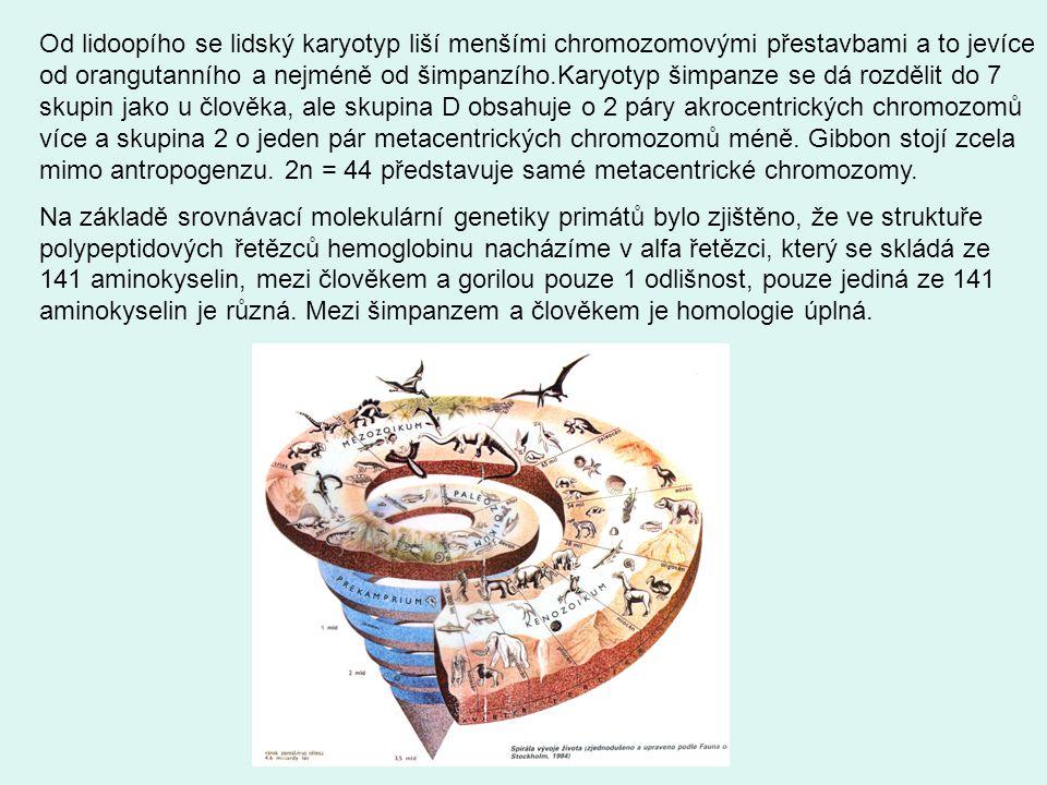 Od lidoopího se lidský karyotyp liší menšími chromozomovými přestavbami a to jevíce od orangutanního a nejméně od šimpanzího.Karyotyp šimpanze se dá rozdělit do 7 skupin jako u člověka, ale skupina D obsahuje o 2 páry akrocentrických chromozomů více a skupina 2 o jeden pár metacentrických chromozomů méně.